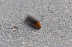 Caterpillar of the brown bear on asphalt Royalty Free Stock Photo