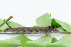 Caterpillar of brown lappet moth Royalty Free Stock Image