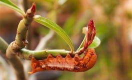 Caterpillar. Brown caterpillar on the rose desert Stock Photos