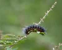 Caterpillar brusande i solen Royaltyfri Foto