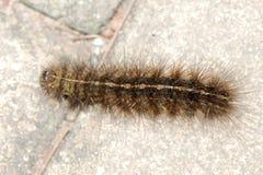 Caterpillar bug Stock Image