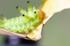 Image of a caterpillar bug on green leaves. Caterpillar bug on green leaves. Insect Animal royalty free stock photography