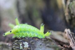 Image of a caterpillar bug on green leaves. Caterpillar bug on green leaves. Insect Animal royalty free stock photo