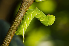 Caterpillar butterfly Stock Photography