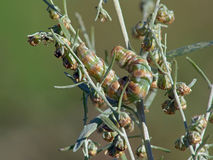 Caterpillar of butterfly Cucullia absinthii. A caterpillar of butterfly Cucullia absinthii families Nodtuidae on colors Artemisia absinthium. A good example of Royalty Free Stock Photography