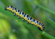 Caterpillar of butterfly Cucullia lactucae. Stock Photography