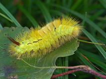 Caterpillar of butterfly Dasychira pudibunda. Royalty Free Stock Images