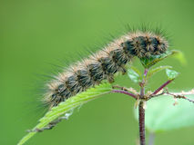 Caterpillar of the butterfly of family Arctiidae. A caterpillar of the butterfly of family Arctiidae on a nettle. The sort is not established. The photo is made Royalty Free Stock Photos