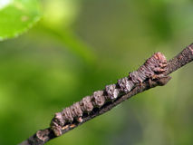 Caterpillar of the butterfly of family Geometridae. A caterpillar of family Geometridae. Has length of a body about 30 mm. The photo is made in Moscow areas ( Stock Photo