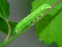 Caterpillar of the butterfly of family Noctidae. Stock Image