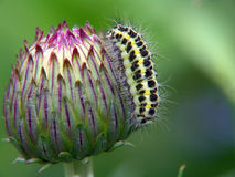Caterpillar of the butterfly of family Zygaenidae. A caterpillar of the butterfly of family Zygaenidae on бодяке (Cirsium sp). Length of a body about 16 Stock Photo