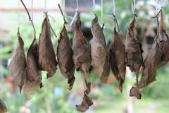 Caterpillar. Butterfly life cycle pupa stage in Cobweb worm net Stock Images