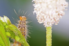 Caterpillar of butterfly Stock Image