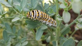 Caterpillar of butterfly macaon papilio machaon Stock Photo