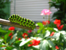 Caterpillar of the butterfly  machaon on the stick Royalty Free Stock Images