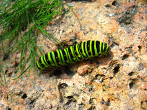 Caterpillar of the butterfly  machaon on the stone Royalty Free Stock Photography