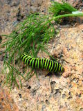 Caterpillar of butterfly machaon on the stone Stock Photography
