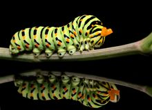 Caterpillar butterfly mahaon close-up on a black background with unusual reflection stock photography