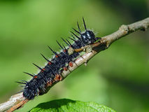 Caterpillar of butterfly Nymphalis antiopa. Royalty Free Stock Photo