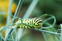 Caterpillar butterfly Papilio machaon Stock Photos