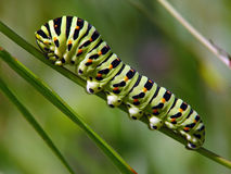 Caterpillar of butterfly Papilio machaon. Stock Photos