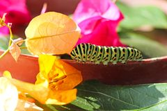 Caterpillar of butterfly Papilio machaon Stock Photos