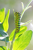 Caterpillar butterfly Papilio machaon Linnaeus, Hvostonosets swa Royalty Free Stock Photography