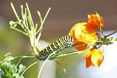 Caterpillar of butterfly Papilio machaon Stock Photo