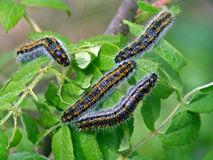 Caterpillar of butterfly Phalera bucephala. Stock Photos