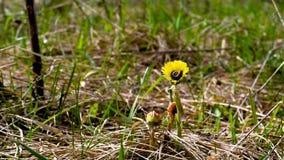 Caterpillar cae de la flor amarilla del viento almacen de metraje de vídeo