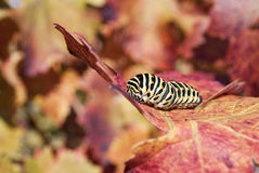 Caterpillar camouflage Royalty Free Stock Image