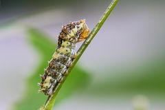 Caterpillar. Larvae of the butterfly royalty free stock photos