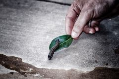 Caterpillar. On a leaf held by a hand insect Stock Images