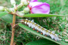 Caterpillar. S are mostly butterflies or moths Royalty Free Stock Photo