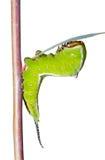 Caterpillar (Cerura erminea) 12 Arkivfoton