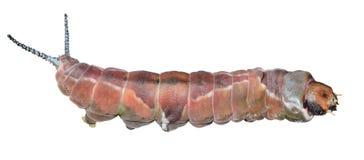 Caterpillar & x28 Cerura erminea& x29  18 Στοκ εικόνες με δικαίωμα ελεύθερης χρήσης