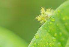 Caterpillar che mangia una foglia verde Immagini Stock Libere da Diritti