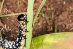 Caterpillar che scala su un primo piano di estremo della lama dell'erba Immagini Stock