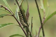 Caterpillar che striscia su un ramo fotografia stock libera da diritti