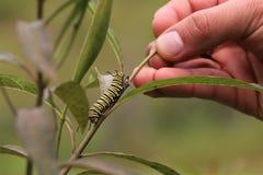 Caterpillar che striscia su un ramo immagini stock