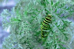 Caterpillar che striscia su un ramoscello verde sottile fotografie stock