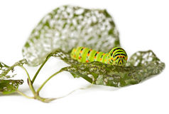 Caterpillar and chewed leaves Royalty Free Stock Photo