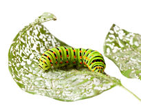 Caterpillar chewing a leaf Royalty Free Stock Photos
