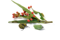 Caterpillar and chrysalis, monarch butterfly, next to the plant Stock Image