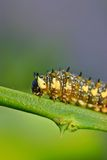 Caterpillar on a Citrus Branch Royalty Free Stock Images