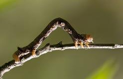 Caterpillar climbing Stock Photography