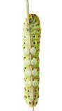 Caterpillar climbing behind stem Royalty Free Stock Photos