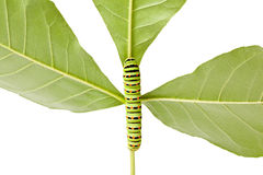 Caterpillar climbing on twig Stock Photos