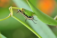 Caterpillar close up. On the plant Royalty Free Stock Photo