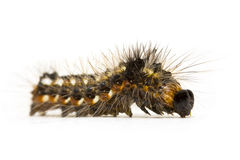 Caterpillar close-up Royalty Free Stock Photography